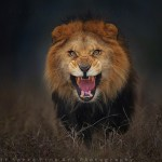 Stunning moments of an angry lion aggressively jumped towards photographer to attack him
