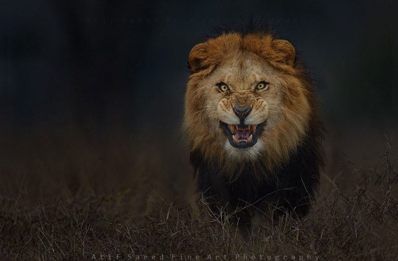 animal-photography-angry-lion-pictures
