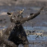 Moment of a cheetah catching a muddy fish
