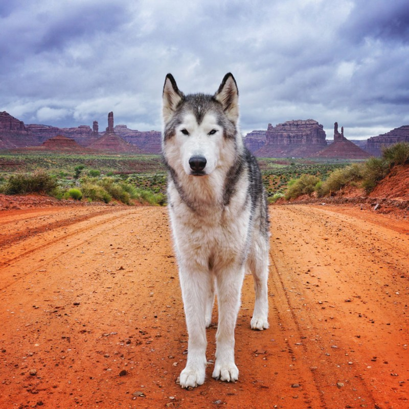 fun-Wolfdog-wild-life-adventures-nature-photography (19)