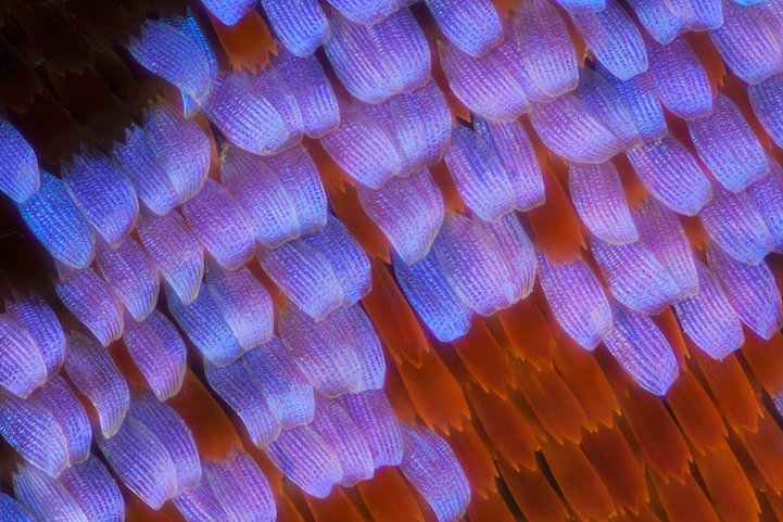 miscroscopic-butterfly-wings-photos-macro-photography (4)
