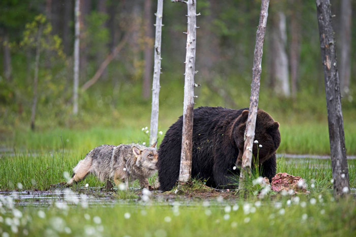 unusual-animal-friendship-wolf-bear-nature-photography (10)