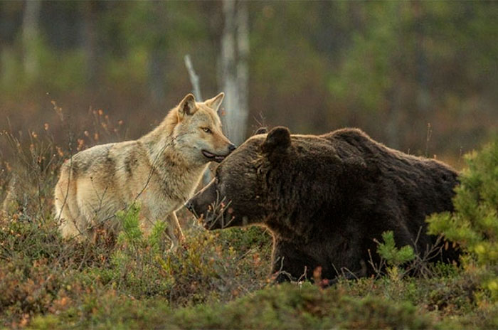 unusual-animal-friendship-wolf-bear-nature-photography (2)