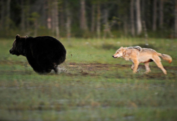 unusual-animal-friendship-wolf-bear-nature-photography (3)