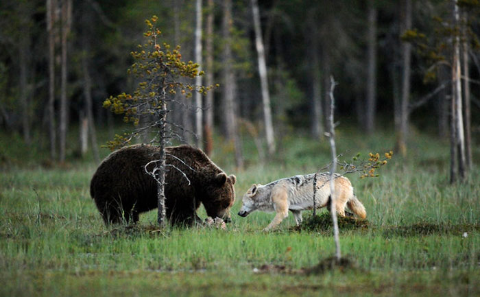 unusual-animal-friendship-wolf-bear-nature-photography (5)