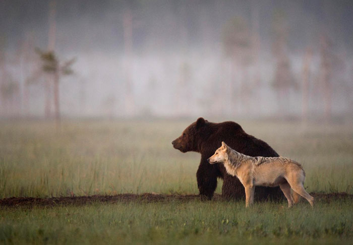 unusual-animal-friendship-wolf-bear-nature-photography (6)