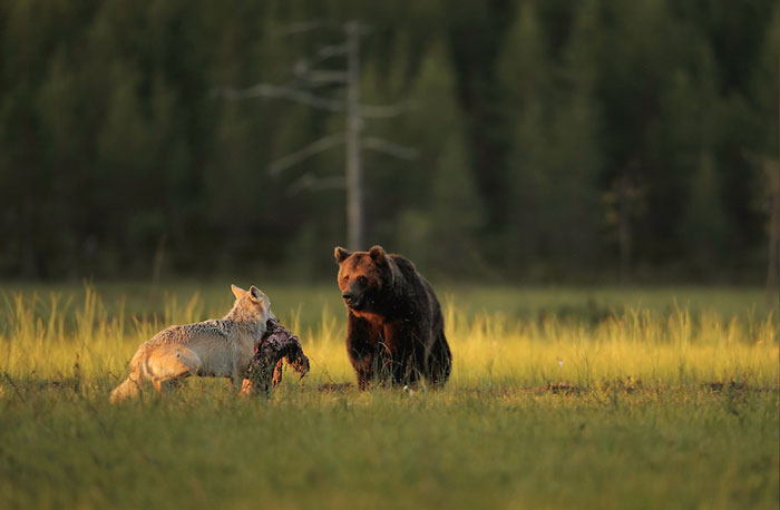 unusual-animal-friendship-wolf-bear-nature-photography (7)