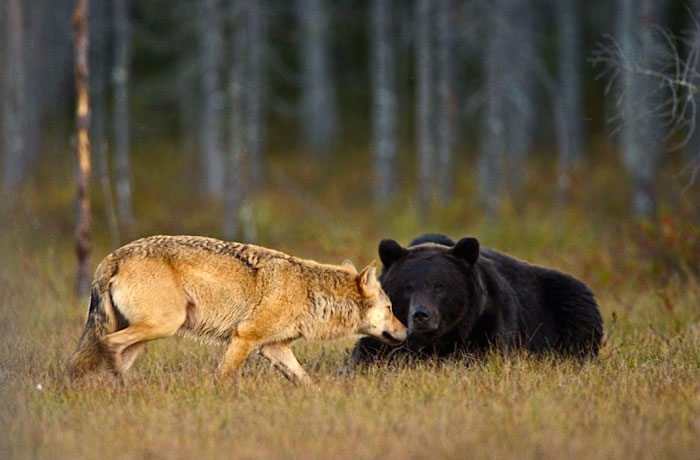unusual-animal-friendship-wolf-bear-nature-photography (8)