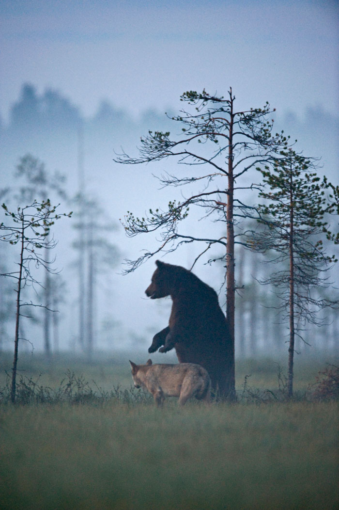 unusual-animal-friendship-wolf-bear-nature-photography (9)