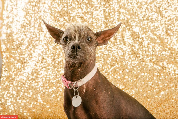 winner-of-Worlds-Ugliest-Dog-2015-pictures (10)