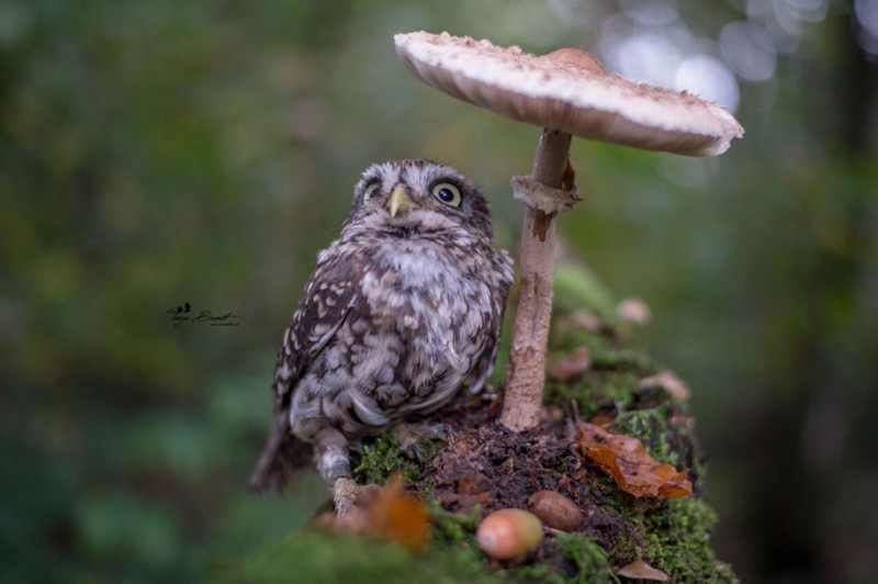cute-animal-photo-adorable-owl-hide-rain-mushroom (1)