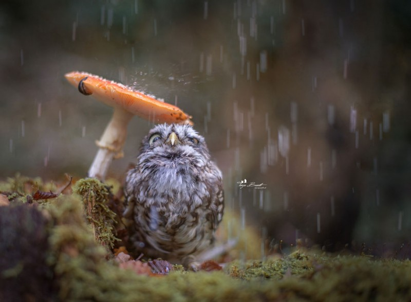 cute-animal-photo-adorable-owl-hide-rain-mushroom (3)