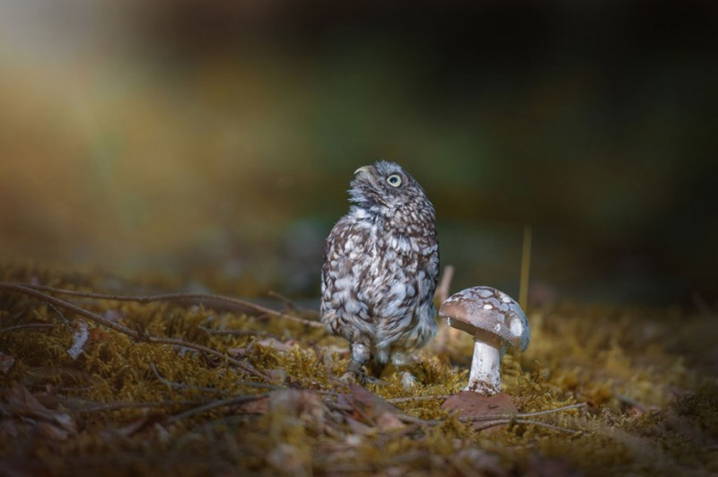 cute-animal-photo-adorable-owl-hide-rain-mushroom (6)