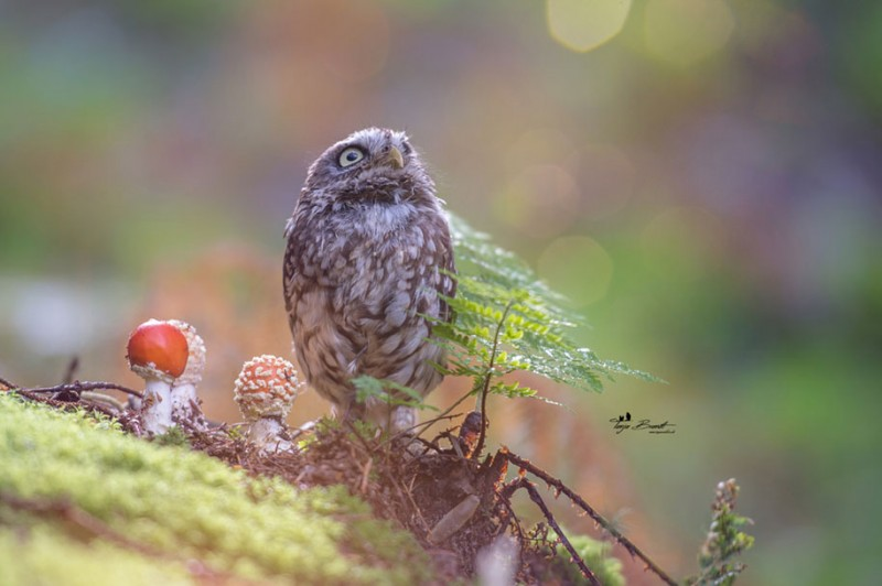 cute-animal-photo-adorable-owl-hide-rain-mushroom (7)
