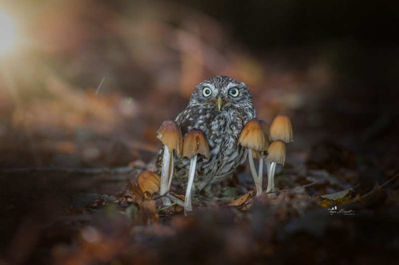 cute-animal-photo-adorable-owl-hide-rain-mushroom (9)