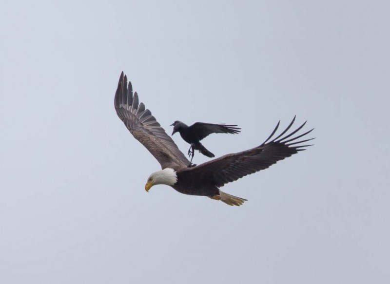 rare-amazing-bird-crow-riding-eagle-photos (1)