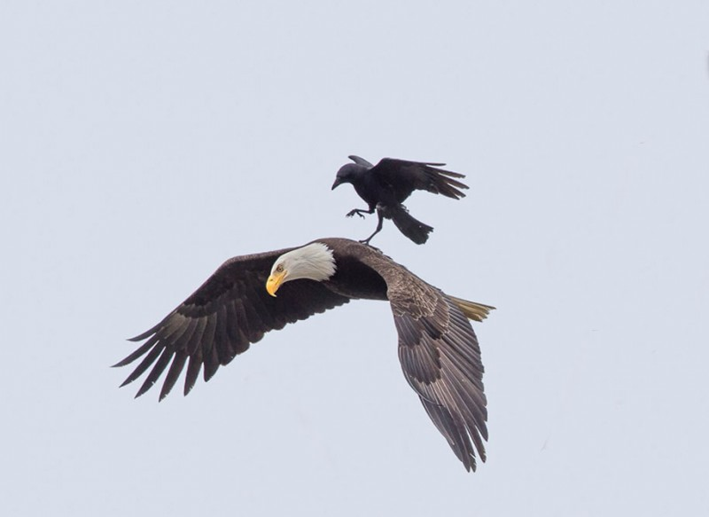rare-amazing-bird-crow-riding-eagle-photos (2)