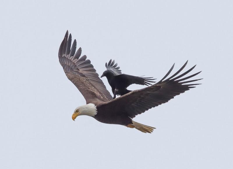 rare-amazing-bird-crow-riding-eagle-photos (3)