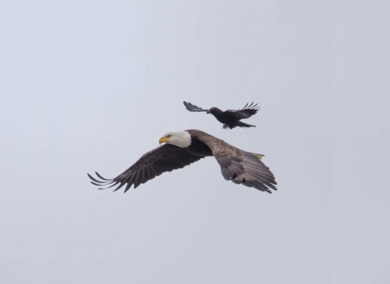 rare-amazing-bird-crow-riding-eagle-photos