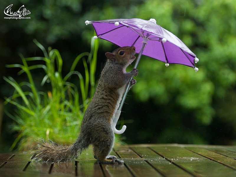 funny-photos-of-cute-squirrel-umbrella-rain (1)