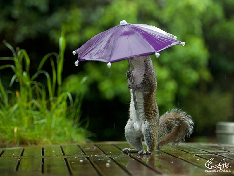 funny-photos-of-cute-squirrel-umbrella-rain (2)
