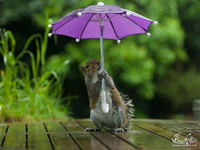 funny-photos-of-cute-squirrel-umbrella-rain (4)