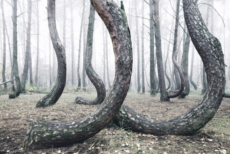 odd-strange-Crooked-Forest-bent-trees-froest-poland (1)