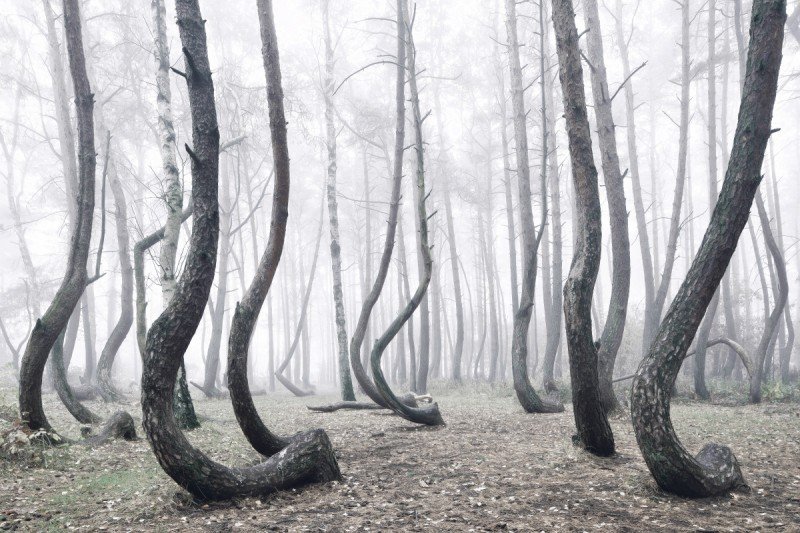 odd-strange-Crooked-Forest-bent-trees-froest-poland (2)