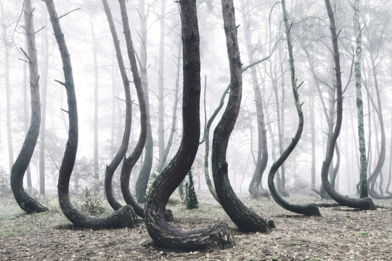 odd-strange-Crooked-Forest-bent-trees-froest-poland (5)