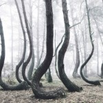 Crooked Forest – 400 pine trees are oddly bent 90 degrees parallel to the ground