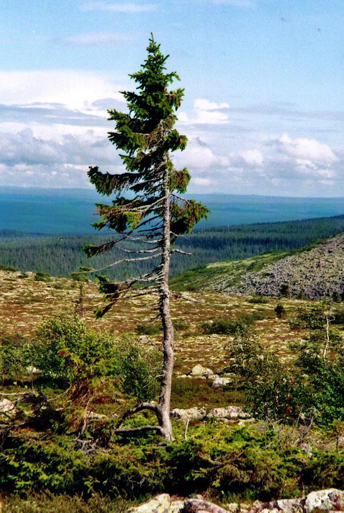 worlds-oldest-tree-sweden (2)