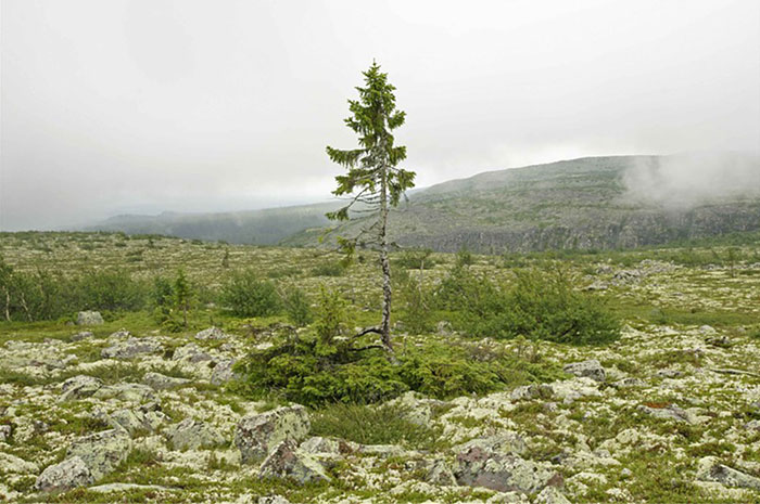 worlds-oldest-tree-sweden (3)