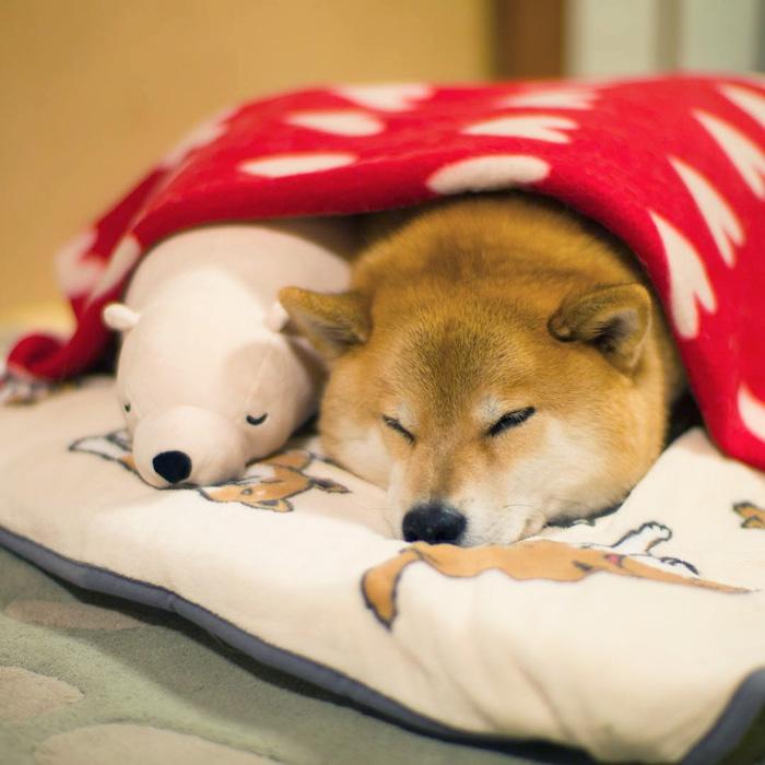 adorable-teddy-bear-look-alike-pup-dog-sleeps-same-position (1)