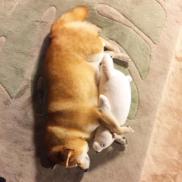 adorable-teddy-bear-look-alike-pup-dog-sleeps-same-position (2)