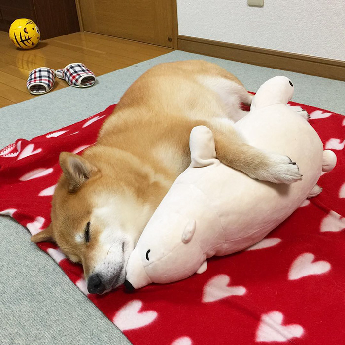 adorable-teddy-bear-look-alike-pup-dog-sleeps-same-position (6)