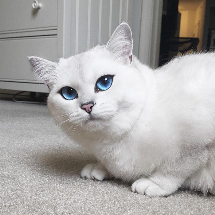 british-shorthair-cat-most-stunning-beautiful-blue-eyes (10)