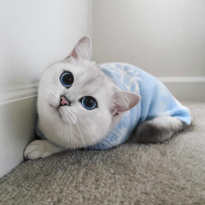 british-shorthair-cat-most-stunning-beautiful-blue-eyes (11)
