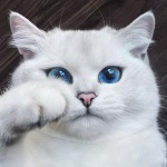 british-shorthair-cat-most-stunning-beautiful-blue-eyes (12)