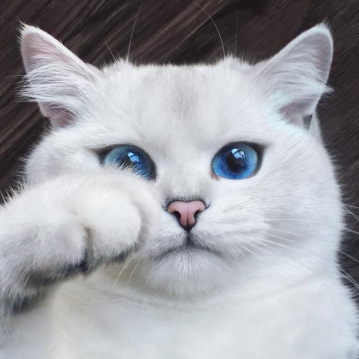british-shorthair-cat-most-stunning-beautiful-blue-eyes (12)