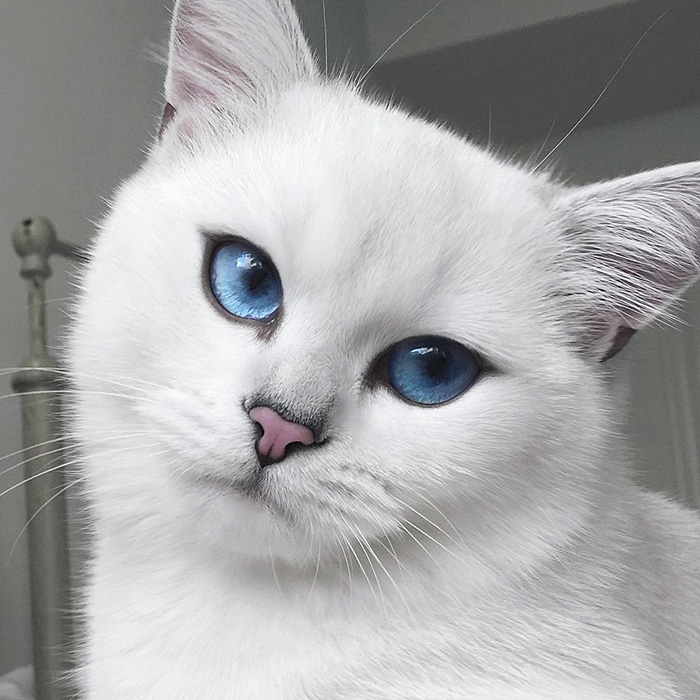 british-shorthair-cat-most-stunning-beautiful-blue-eyes (13)