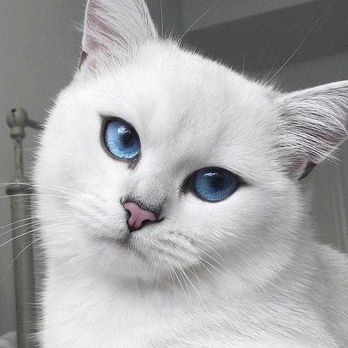 british-shorthair-cat-most-stunning-beautiful-blue-eyes (13)