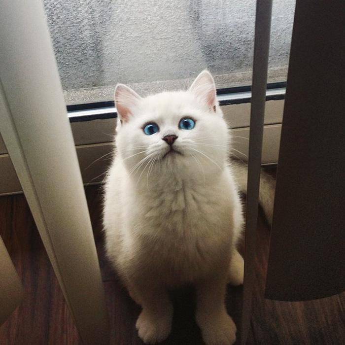 british-shorthair-cat-most-stunning-beautiful-blue-eyes (16)