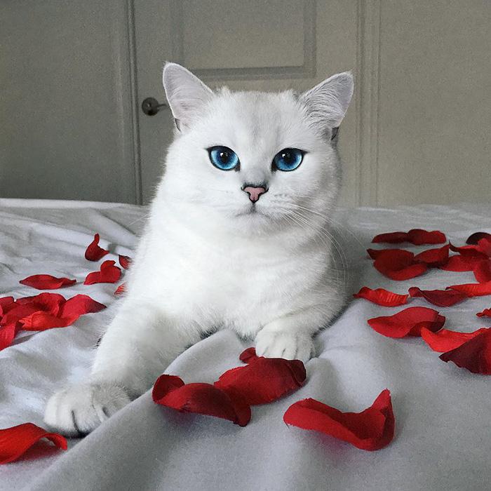 british-shorthair-cat-most-stunning-beautiful-blue-eyes (2)