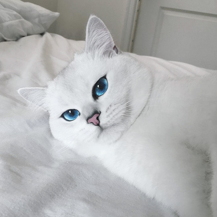 british-shorthair-cat-most-stunning-beautiful-blue-eyes (3)