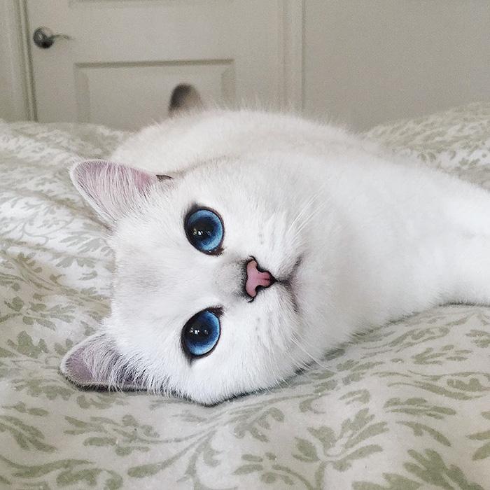 british-shorthair-cat-most-stunning-beautiful-blue-eyes (5)