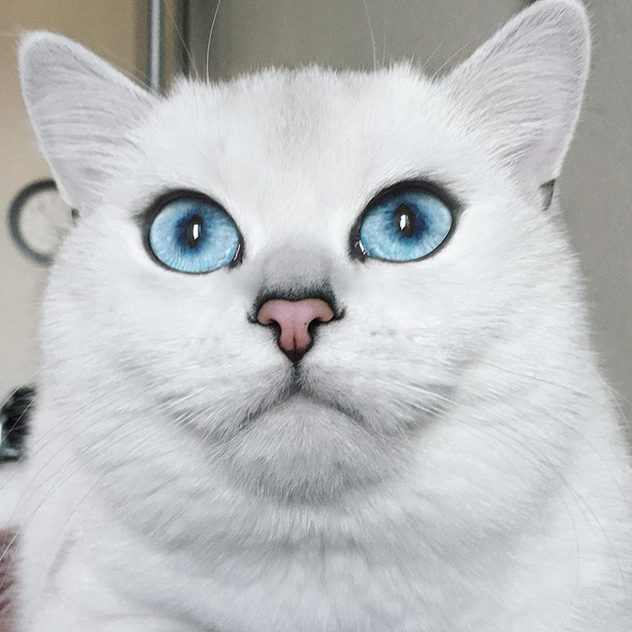british-shorthair-cat-most-stunning-beautiful-blue-eyes (6)