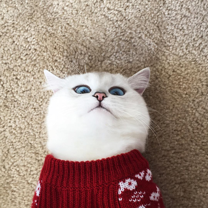 british-shorthair-cat-most-stunning-beautiful-blue-eyes (8)