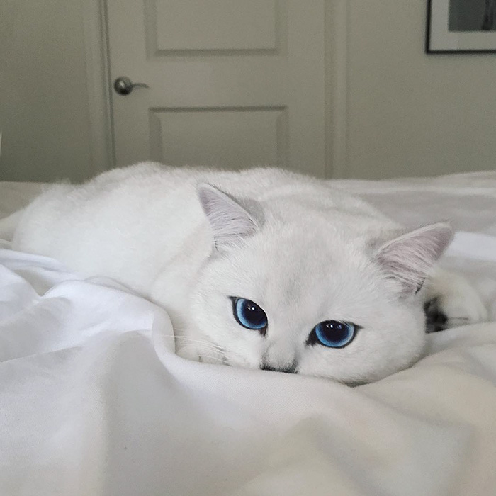 british-shorthair-cat-most-stunning-beautiful-blue-eyes (9)
