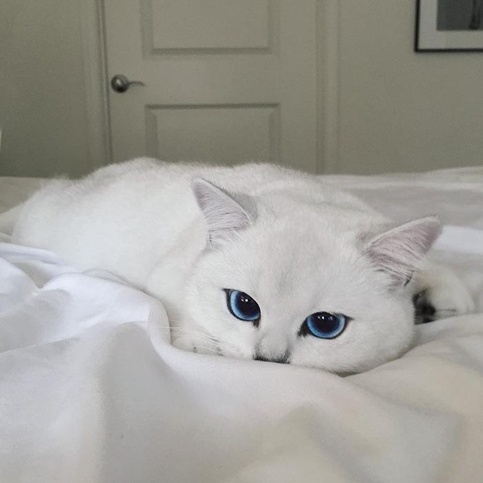 british-shorthair-cat-most-stunning-beautiful-blue-eyes (9)