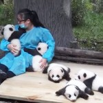"Panda caretaker – Chinese version of ""The World's Best Job"""